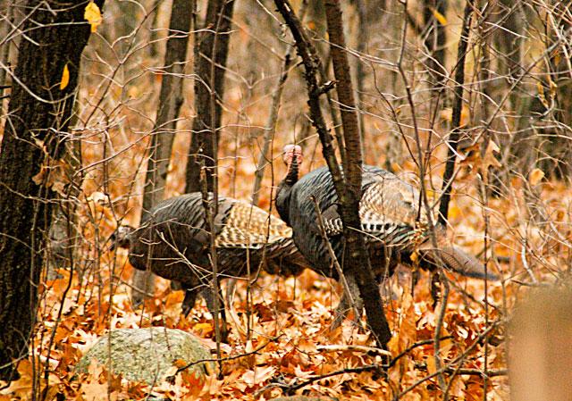 Turkeys Raw Food Holiday